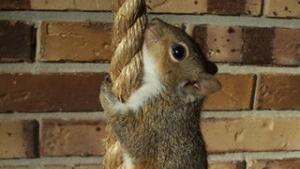 A squirrel climbing a rope